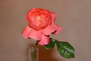 682205_a_rose