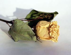 950879_dry_roses