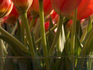 520775_dutch_flowers