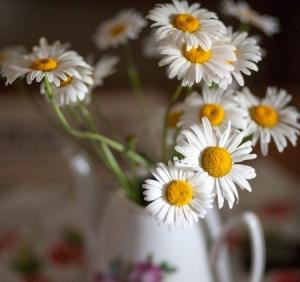 stems daisy